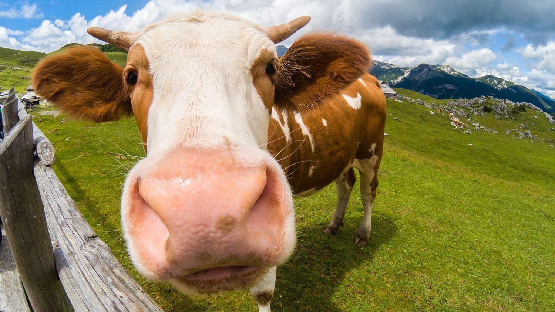 A happy cow?